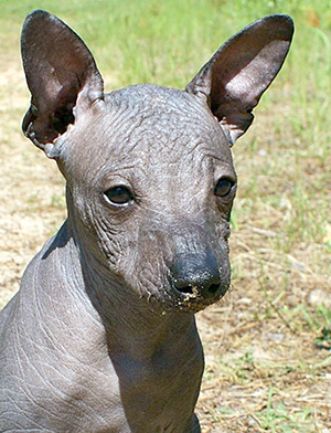 фото собаки лысой